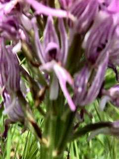 Orchis simia - close-up